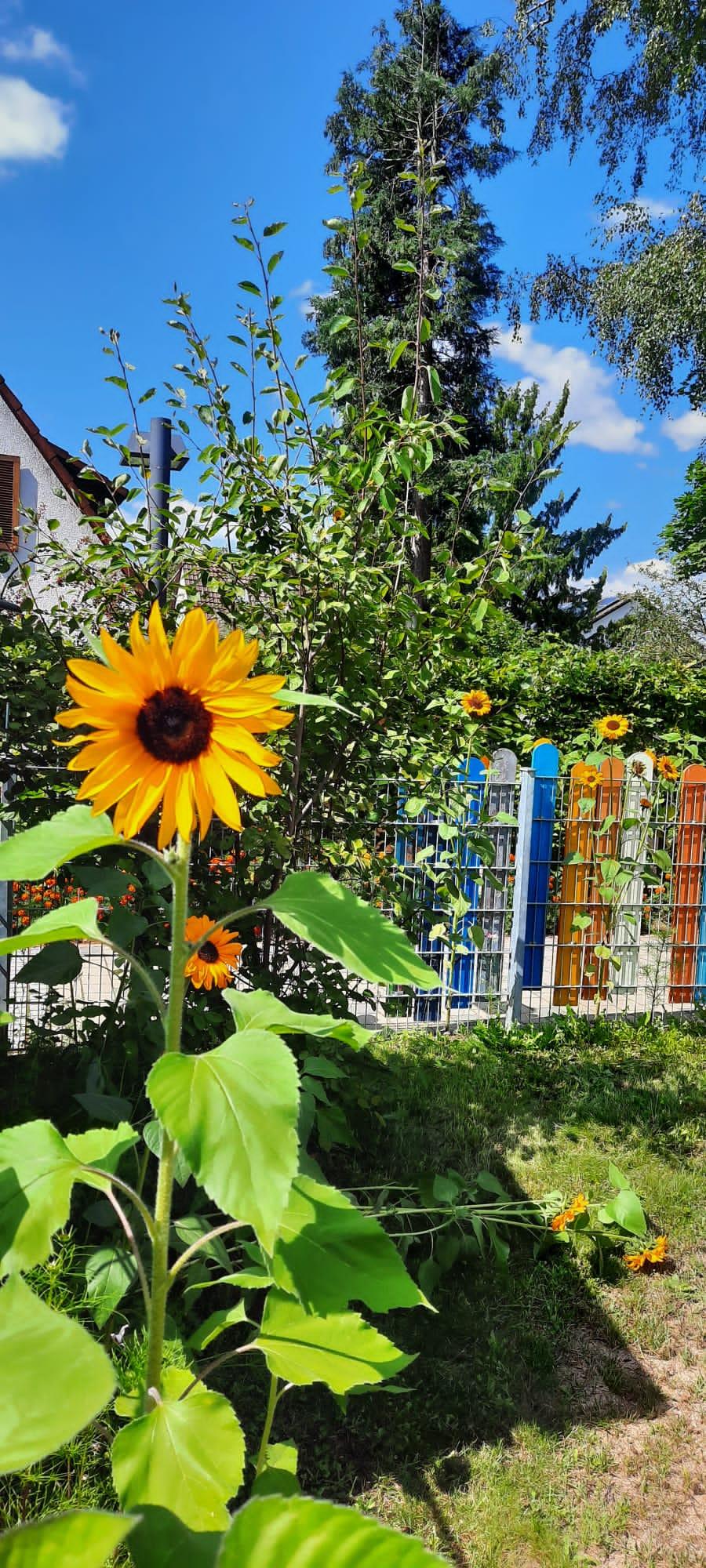 Sonnenblumen_Krippegarten